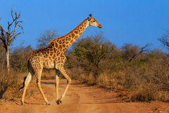 Um girafa cruza a estrada fotografia de stock royalty free