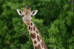 Um girafa de um jardim zoológico na Espanha do Madri Fotos de Stock