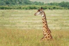 Um girafa do Masai que descansa na grama longa de Masai Mara imagem de stock royalty free
