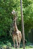 Um girafa no jardim zoológico de Paignton em Devon, Reino Unido Imagem de Stock Royalty Free