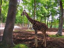 Um girafa novo Imagem de Stock Royalty Free