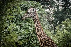 Um girafa que está e que come as folhas verdes Imagem de Stock