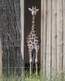 Um girafa que procura visitantes no jardim zoológico Imagem de Stock