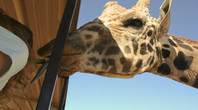 Um girafa toma o aipo da boca de uma mulher Fotografia de Stock