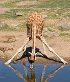 Um giraffe bebendo Imagens de Stock