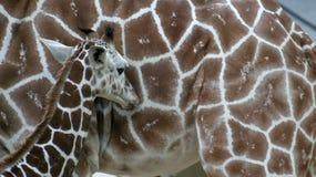 Um giraffe novo na frente de sua matriz Imagens de Stock