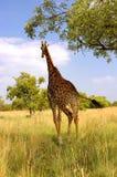 Um Giraffe que funciona em seu habitat natural Fotografia de Stock