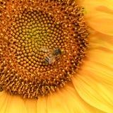Um girassol e uma abelha amarelos dourados Fotografia de Stock
