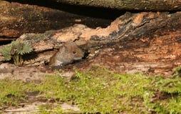 Um glareolus doce do Clethrionomys da ratazana do banco que pica para fora sua cabeça em uma pilha do log imagem de stock