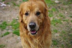 Um golden retriever Fotos de Stock Royalty Free
