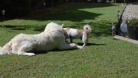 Um golden retriever e uma luta do jogo do terrier de russell do jaque sobre um brinquedo filme