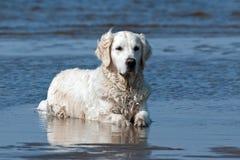Um golden retriever encontra-se e esfria-se para baixo no mar fotos de stock
