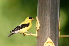 Um goldfinch americano fotos de stock royalty free