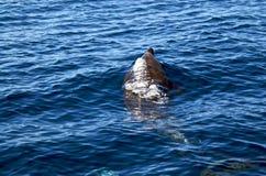 Um golfinho de Bottlenose que expira como ele quebra a superfície Foto de Stock