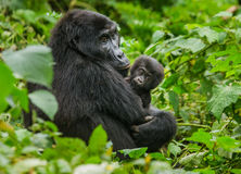 Um gorila de montanha fêmea com um bebê uganda Bwindi Forest National Park impenetrável foto de stock royalty free