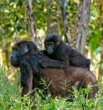 Um gorila de montanha fêmea com um bebê uganda Bwindi Forest National Park impenetrável fotos de stock royalty free