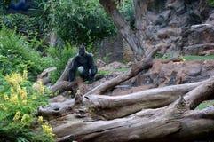 Um gorila enorme que senta-se em um ramo na perspectiva da rocha Fotografia de Stock Royalty Free
