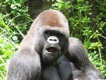 Um gorila no meio-dia Sun Fotos de Stock