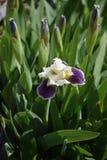 Um gramado do dia das íris na primavera Foto de Stock