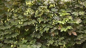 Um grande arbusto dos lúpulos no jardim no tempo ventoso Movimento lento r video estoque
