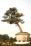Um grande bonsai foto de stock royalty free