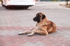 Um grande cão com olhos tristes encontra-se na antecipação Foto de Stock