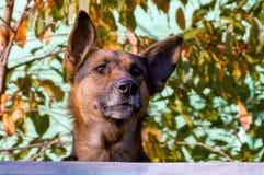 Um grande cão espreita sobre uma cerca no fundo das folhas e dos galhos imagens de stock