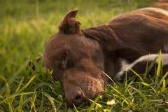 Um grande cão marrom que descansa calmamente no por do sol fotos de stock