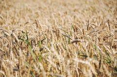 Um grande campo de grão, apronta-se para a colheita Imagem de Stock
