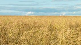 Um grande campo do trigo maduro vídeos de arquivo