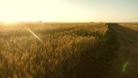 Um grande campo do trigo maduro e de uma estrada rural Os Spikelets do trigo com grão agitam o vento A colheita de grão amadurece vídeos de arquivo