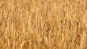 Um grande campo do trigo maduro filme