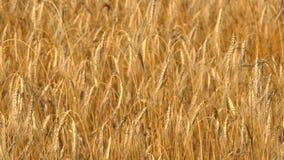 Um grande campo do trigo maduro video estoque