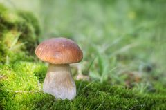 Um grande cogumelo branco cresce no musgo fotos de stock