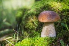 Um grande cogumelo branco cresce no musgo O sol ilumina brilhantemente o cogumelo imagens de stock royalty free