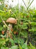 Um grande cogumelo branco em uma haste grossa entre bagas do morango silvestre imagem de stock