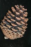 Um grande cone do pinho Imagens de Stock