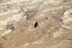 Um grande corvo preto paira em uma altura tremenda acima do Jud Fotos de Stock Royalty Free