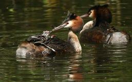 Um grande cristatus adulto do Podiceps do mergulhão com crista que alimenta a seus bebês uma pena como estão montando em sua part Imagem de Stock