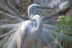 Um grande egret Foto de Stock Royalty Free