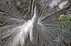 Um grande egret Imagens de Stock