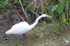 Um grande Egret branco em um pântano Foto de Stock Royalty Free