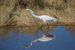 Um grande Egret determinado Fotografia de Stock Royalty Free