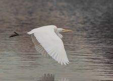 Um grande egret voa o ponto baixo sobre a água imóvel foto de stock