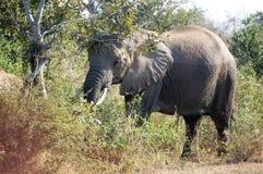 Um grande elefante africano cinzento imediatamente depois de vadear fotografia de stock