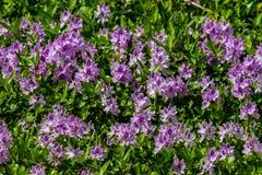 Um grande estiramento do jacinto de água de florescência roxo bonito fotografia de stock royalty free