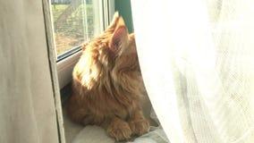 Um grande gato de racum de mármore vermelho de Maine encontra-se pela janela atrás de uma cortina do tule vídeos de arquivo
