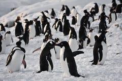 Um grande grupo de pinguins foto de stock