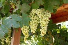 Um grande grupo de uvas Foto de Stock Royalty Free