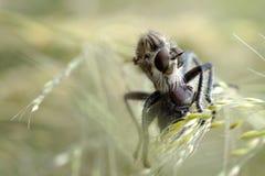 Um grande ktyr da mosca de ladrão agarrou uma mosca e suga os sucos dele na grama fotos de stock